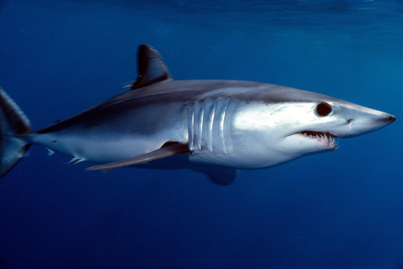 Shortfin Mako Shark (Jeremy Stafford-Deitsch, IUCN)