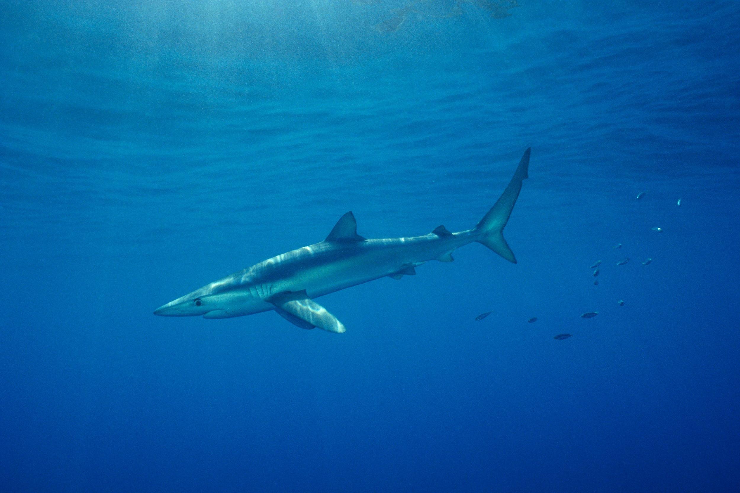 Blue Shark (Jeremy Stafford-Deitsch, IUCN)
