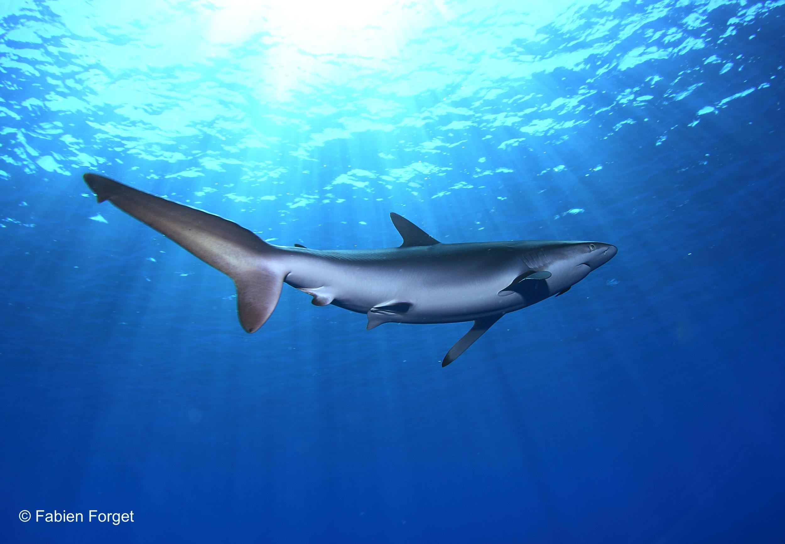 Pelagic Thresher Shark (Fabian Forget, ISSF)