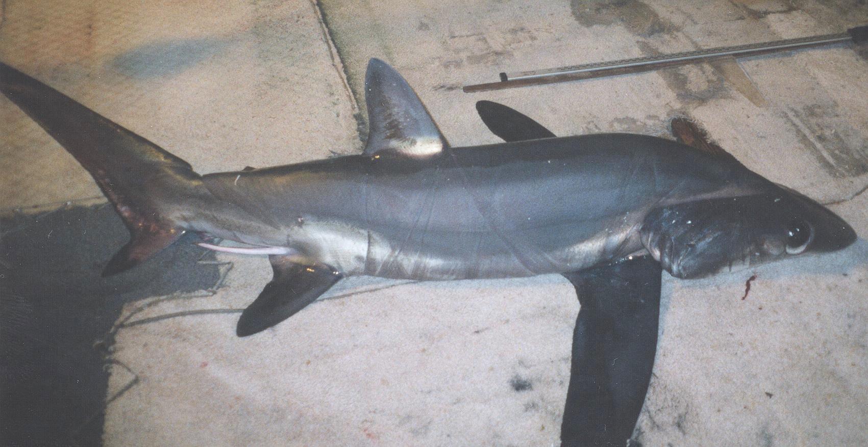 Bigeye Thresher Shark (NOAA)