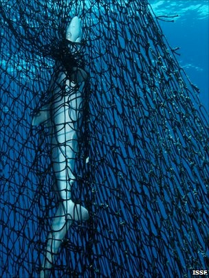 The entanglement hazard posed by some FADs, which affects sensitive species such as sharks and turtles