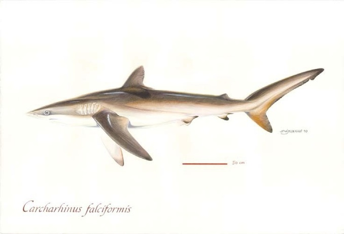 Silky Sharks (Photo: Poisson et al, 2012)