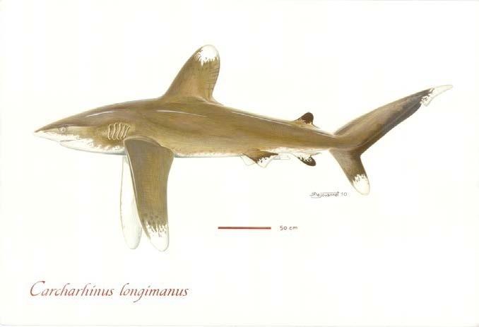 Oceanic Whitetip Sharks (Photo: Poisson et al, 2012)