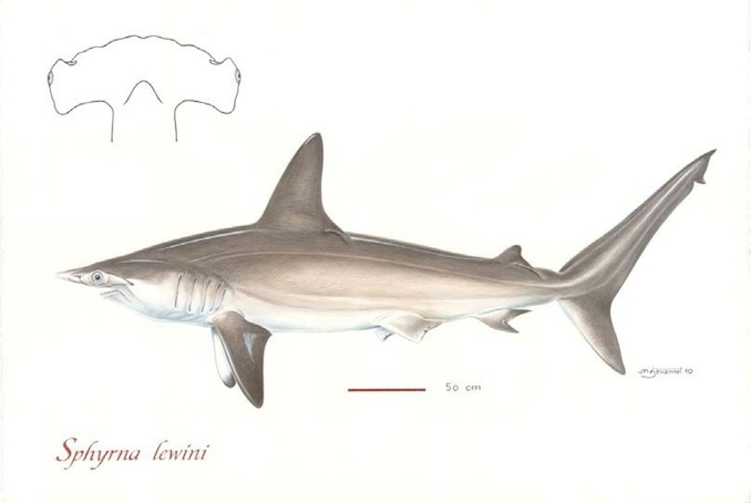 Scalloped Hammerhead Sharks (Photo: Poisson et al, 2012)