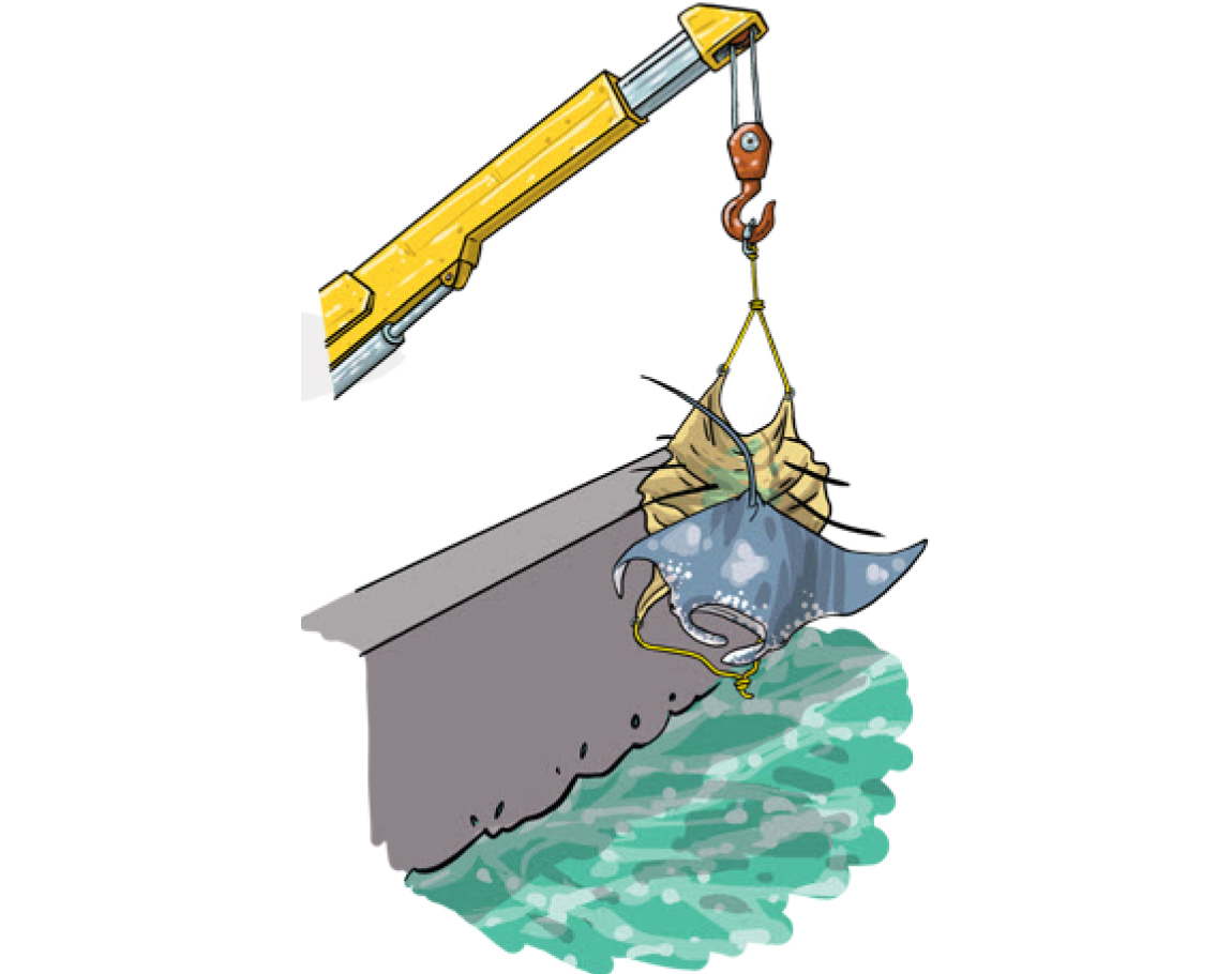 If the animal can't be released directly from the brailer (e.g., by tipping one edge), then large sharks, rays and other fish (e.g., moonfish) can be returned to the sea using a piece of net, plastic tarp or canvas that can be lifted by the crane. The material should be ready on deck before brailing, and when a large animal is encountered, it can be placed on the material, which is then hooked up to the crane and lifted over board. (Photo: Poisson et al, 2012)