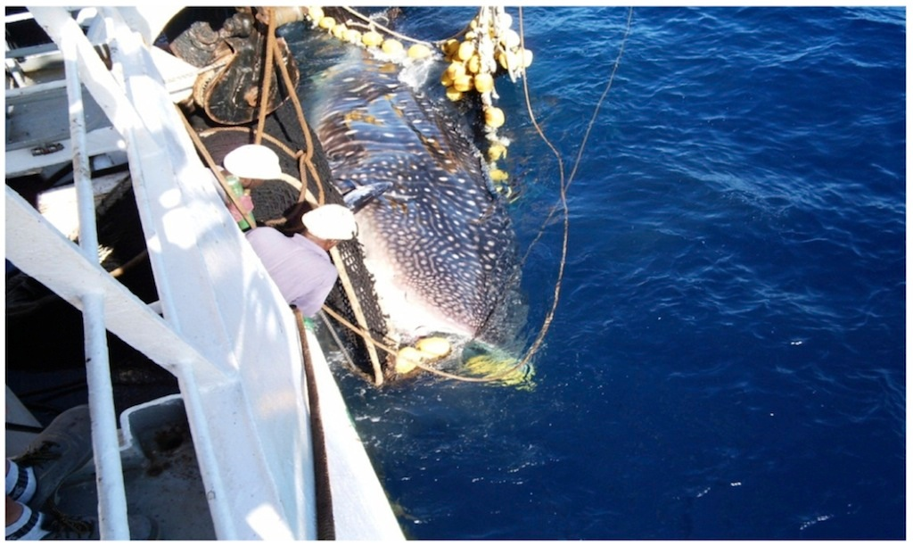 Unlike the handling techniques for sharks and rays discussed above, whale sharks should always be dealt with in the water.