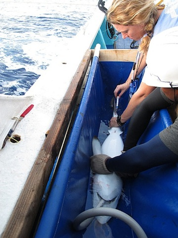 Shark tagging on board an ISSF bycatch research cruise
