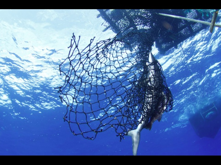 Shark entangled in a FAD (Photo: Fabien Forget)