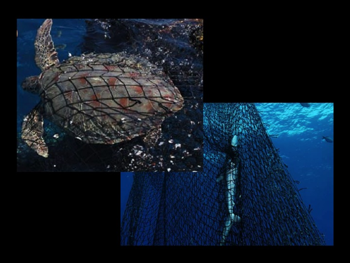 The netting used in traditionally constructed FADs can entangle animals, notably sensitive species such as turtles and sharks.