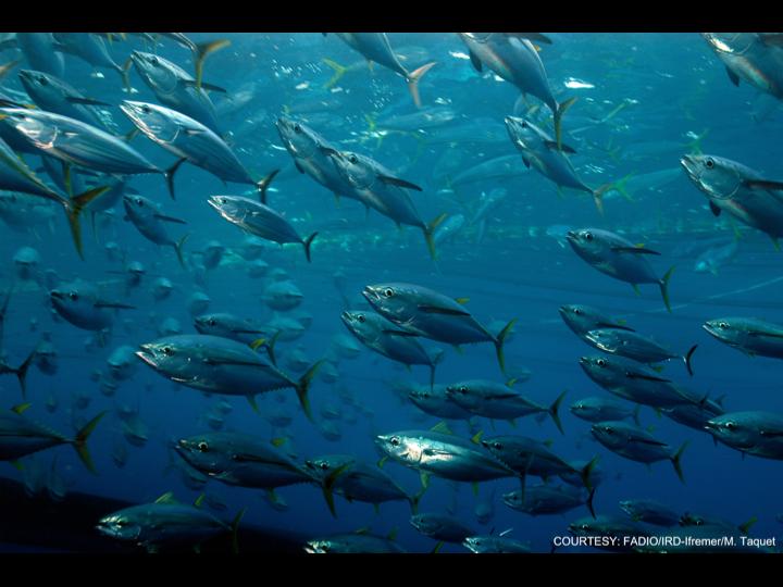 Mixed tuna (Photo: FADIO/IRD-Ifremer/M. Taquet)