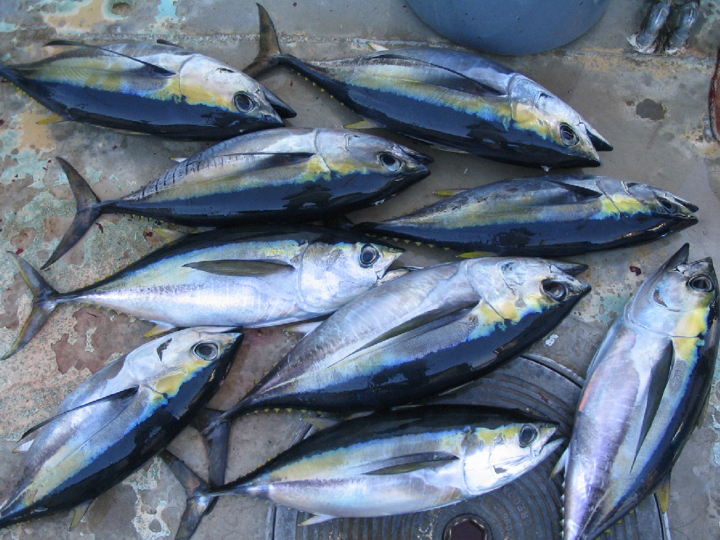 Yellowfin and bigeye tuna can be hard to distinguish, especially when they are not yet mature. Of the nine juvenile tuna in this photo, three are yellowfin, and six are bigeye. The following photographs will illustrate the differences between the two species, and provide some comparative examples. (Photo: David Itano)