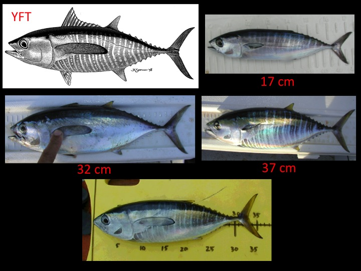Examples of yellowfin tuna under 50 cm. Note the closely spaced, alternating pattern of lines and dots that extends from the tail to beneath the pectoral fin and to above the midlateral body line, with clear demarcation between the marked and unmarked regions. (Photo: David Itano)
