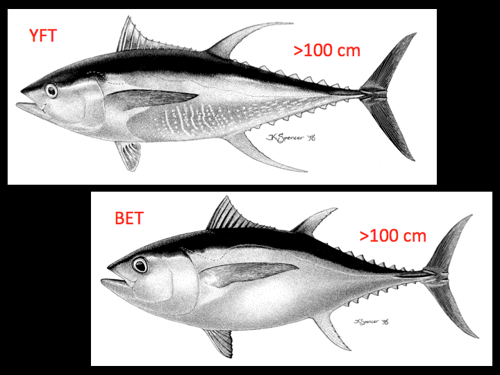 Large adult yellowfin have a streamlined, elongated body shape (above left), while large bigeye have a more rounded and deep body shape (lower right). (Photo: K. Schaefer)