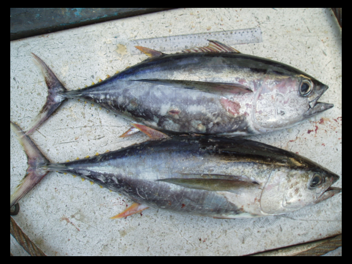Top: Bigeye Tuna  Bottom: Yellowfin Tuna  (Photo: David Itano)