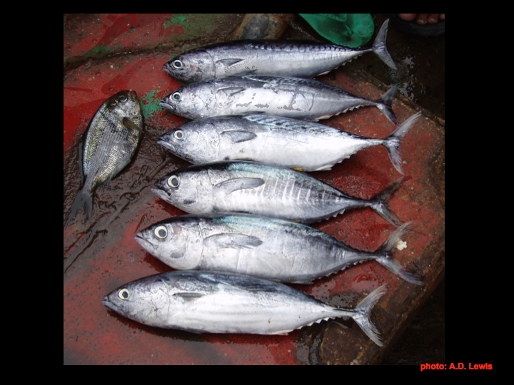 "From top, the first three are ""False Tunas"" (see Chapter 4).  Bottom three are: Yellowfin tuna, Bigeye tuna, and Skipjack.  (Photo: David Itano)"