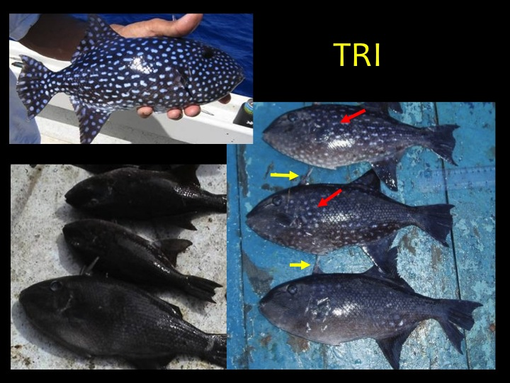 Spotted Oceanic Triggerfish (TRI): white spots (red arrows), one or more spines above the head (yellow arrows), body turns solid black when brine frozen (bottom left photo). (Photo: Fukofuka & Itano, 2007)