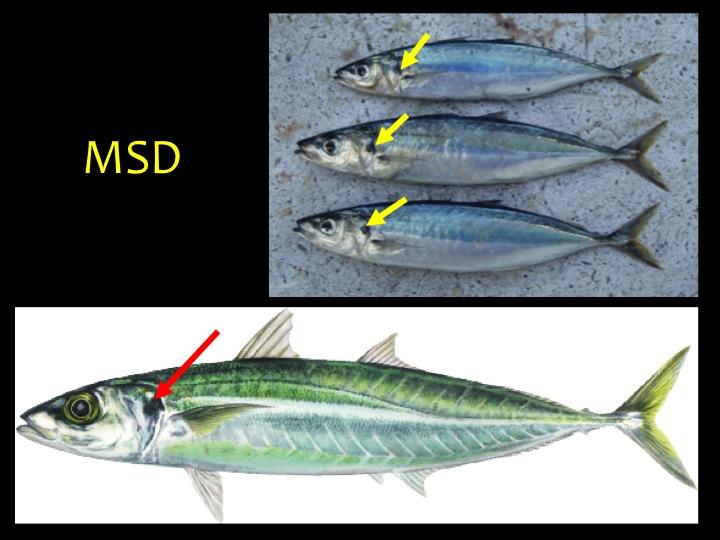 Mackerel Scad (MSD): Skinny shape, metallic black upper body and silver/white lower body, with a black mark on the upper gill flap (arrows) (Photo: Fukofuka & Itano, 2007)