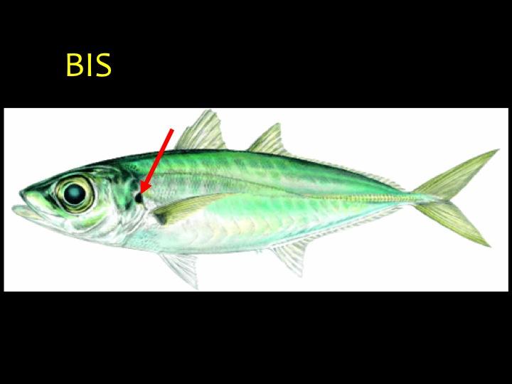 Bigeye Scad (BIS): Long metallic blue-green body, large eyes, black spot on gill flap (arrow) (Photo: Fukofuka & Itano, 2007)