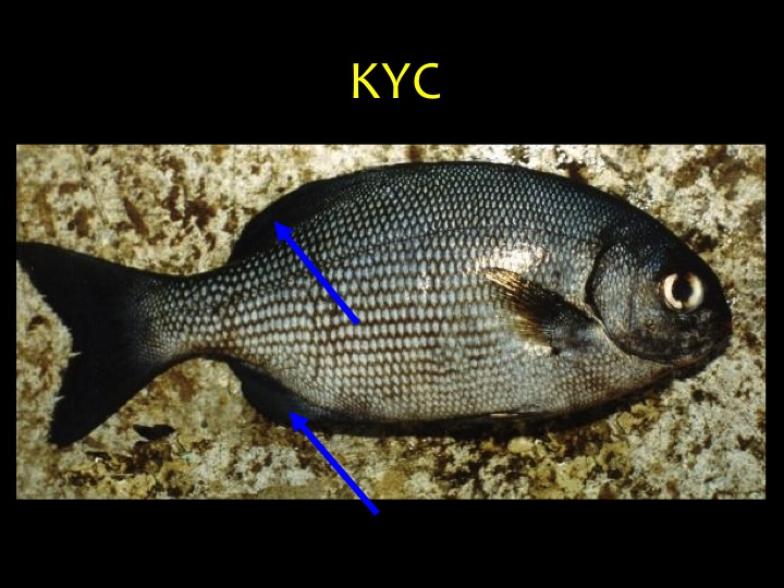 Blue Sea Chub (KYC): Allover dot pattern, dusky fins, elongated dorsal and anal fins (blue arrows). Very common, particularly under FADs and logs (Photo: Fukofuka & Itano, 2007)