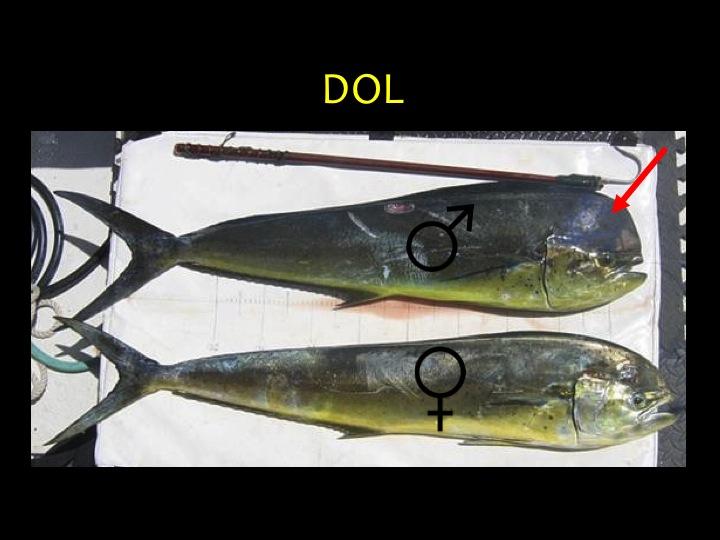 Dolphin Fish/Mahi Mahi (DOL): Distinct body shape, blue-green upper body, yellow lower body, males have a high forehead (red arrow) (Photo: Fukofuka & Itano, 2007)