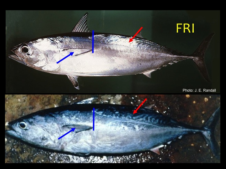 Frigate Tuna (FRI): Scaleless area on the dorsal posterior (top rear) area (red arrow), short pectoral fin that reaches just past the start of the scaleless area (blue bars and arrows) (Photo: J.E. Randall)