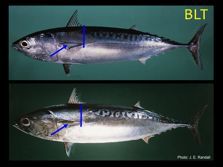 Bullet Tuna (BLT): Similar to the frigate tuna, except that the pectoral fin does NOT reach past the start of the scaleless area (Photo: Fukofuka & Itano, 2007)
