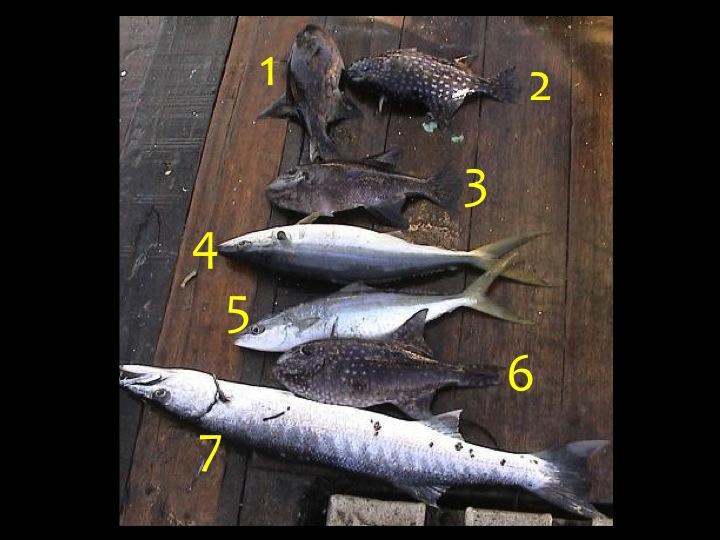 1, 2, 3, 6 = Spotted Oceanic Triggerfish (TRI) 4, 5 = Rainbow Runner (RRU) 7 = Great Barracuda (GBA) (Photo: Fukofuka & Itano, 2007)