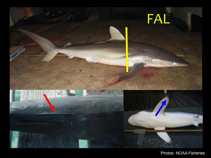 Silky Shark (FAL): Narrow, pointed snout with dorsal fin beginning behind pectoral fin (yellow bar), low ridge running between dorsal fins (red arrow), and black marks on the underside of the pectoral fins (blue arrow). Silky sharks are the most commonly encountered shark in tuna purse seine fishing. (Photo: NOAA Fisheries)