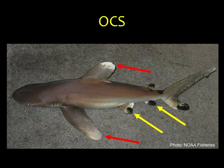 Oceanic Whitetip Shark (OCS): large rounded first dorsal and pectoral fins with white or mottled tips (red arrows), flattened head and curved snout, small fins may have black tips (yellow arrows). (Photo: NOAA Fisheries)