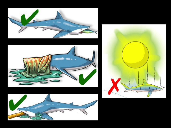 For a shark that cannot be released immediately, keep it cool (out of the sun, with a wet towel draped lightly over its head), and with a fish in its mouth to prevent bites or a hose to allow it to breathe (Photo: Poisson et al 2012)