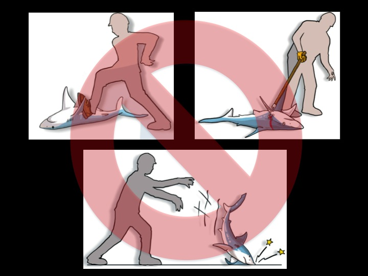 Do NOT step on a shark, handle it with a gaff or other sharp object, or throw it on the ground, as all of these actions can severely damage its internal organs (Photo: Poisson et al 2012)