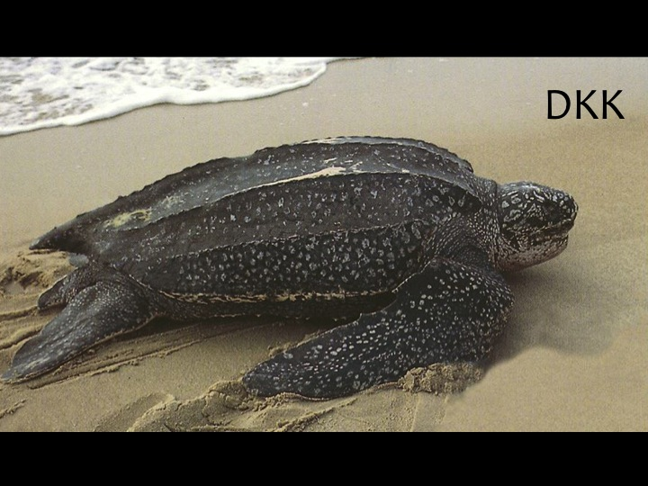 Leatherback Turtle (DKK): The only sea turtle with a soft shell, which is black with white spotting, and has five to seven ridges that run down its back