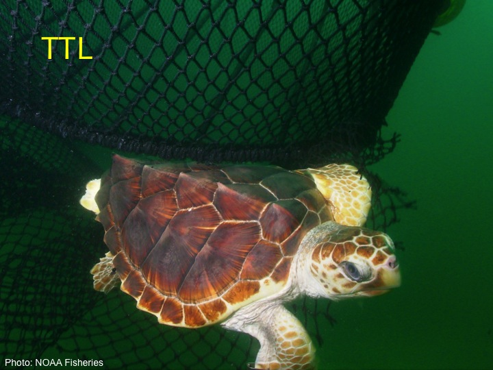 Loggerhead (TTL): A wide, blocklike head, four prefrontal scales (two pairs) between its eyes, with five central plates going down its back and five lateral plates on each side (Photo: NOAA Fisheries)