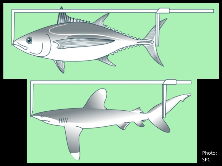 FL (upper jaw/snout to fork in tail): for tuna and all other fish with a fork in the tail (including sharks) (Photo: SPC)