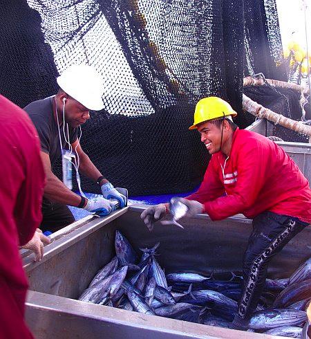 Sampling tuna lengths (Photo: David Itano)