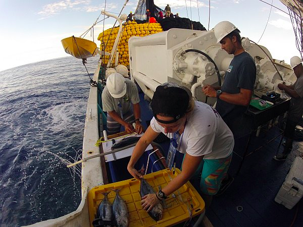 Sampling tuna lengths (Photo: ISSF)