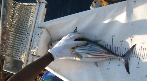 Sampling tuna lengths (Photo: SPC)