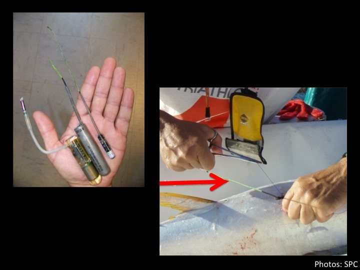 Archival tags are miniature computerized data recorders that are surgically implanted into the tuna's body (antenna, red arrow). (Photo: SPC)