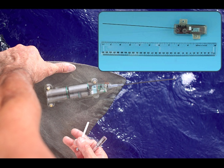Smart Position or Temperature Transmitting (SPOT) tags are attached to a fish's dorsal fin; the tag sends a signal to a satellite every time the fish surfaces. (Photo: SPC)
