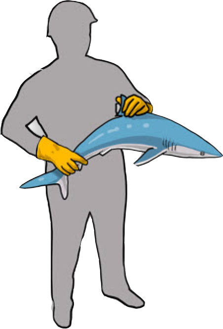 One hand on the dorsal (top) fin and the other holding the body from below (Poisson et al, 2012)