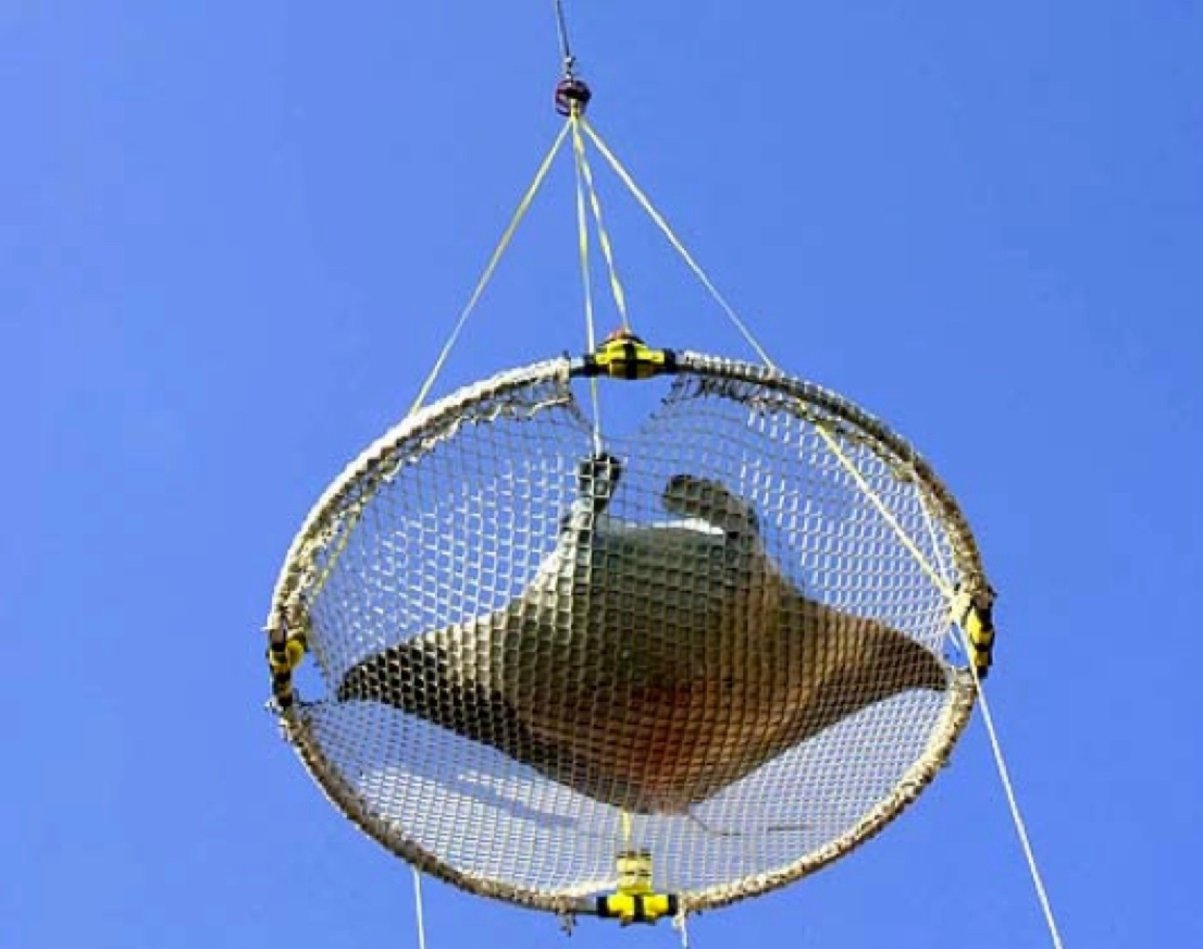 If the animal can't be released directly from the brailer (e.g., by tipping one edge), then large sharks, rays, and other fish (e.g., moonfish) can be returned to the sea using a piece of net, plastic tarp, or canvas that can be lifted by the crane. The material should be ready on deck before brailing, and when a large animal is encountered, it can be placed on the material, which is then hooked up to the crane and lifted over board.