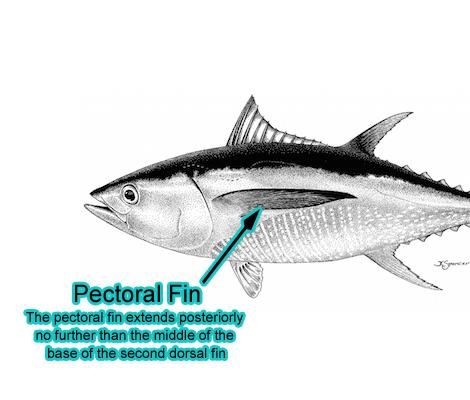 Pectoral Fin (Photo: Schafer, 1999)
