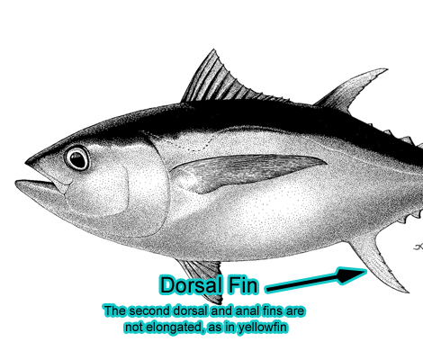 Dorsal Fin (Photo: Schafer, 1999)