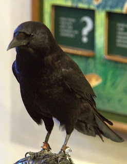 Kodie, the Northwest Crow kept everyone aware of his presence with his calls.