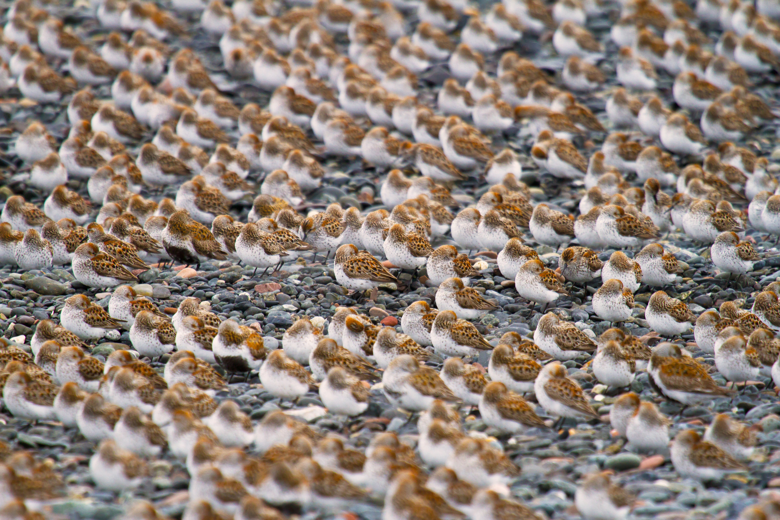 Resting Sandpipers