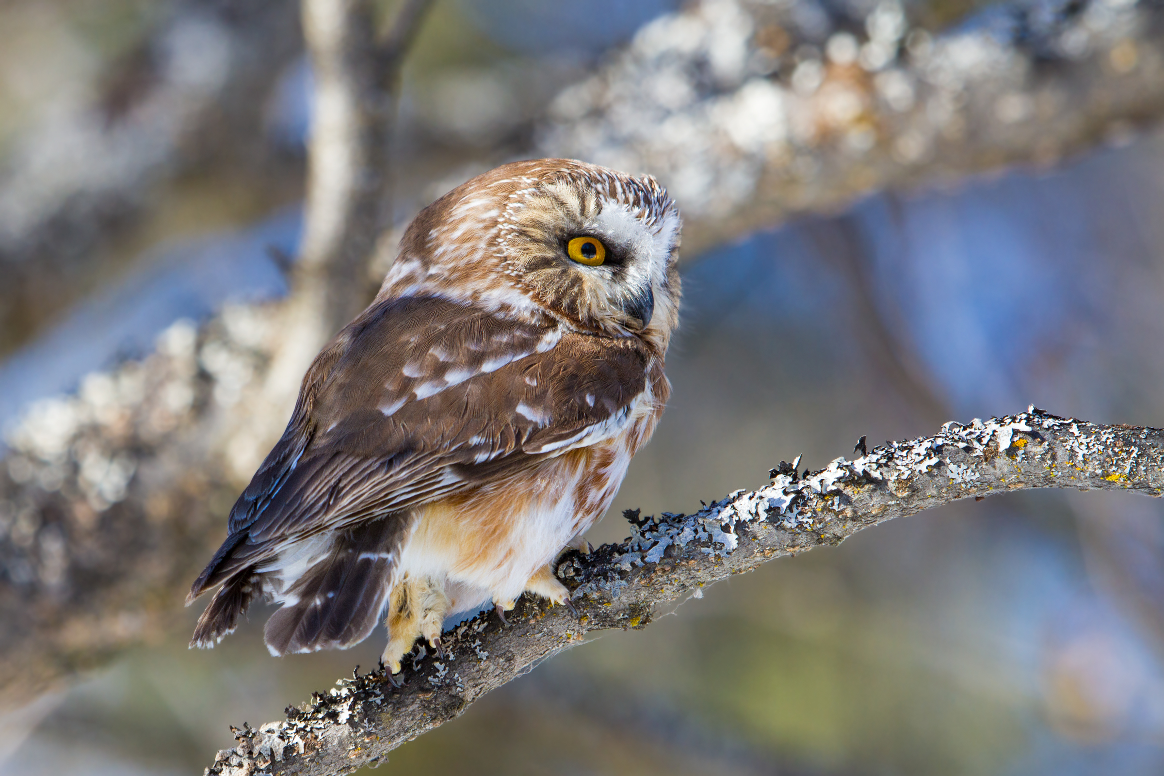 Released Northern Saw-whet Owl