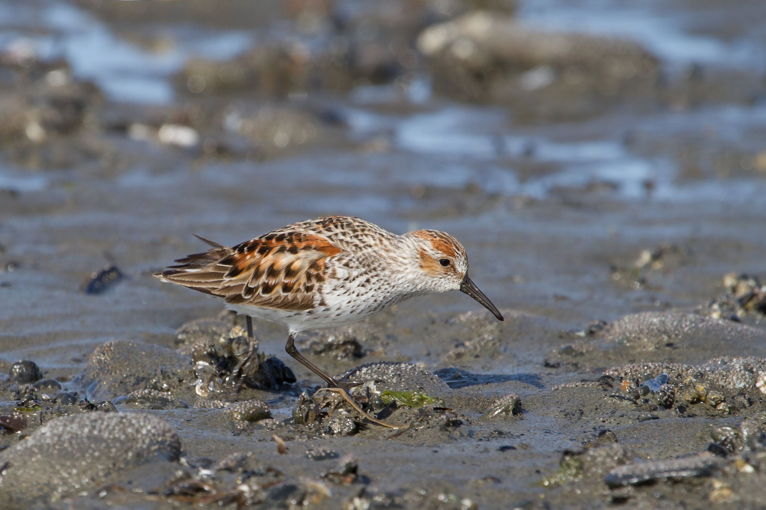 Alaska Shorebird