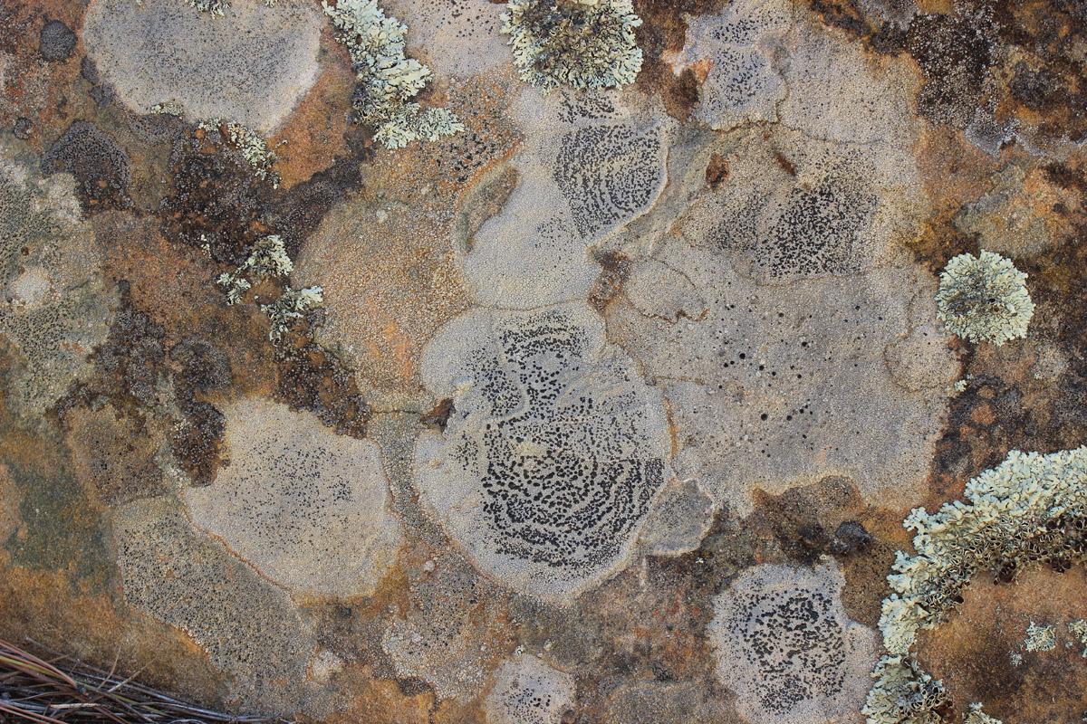 Lichen, Pecos, New Mexico
