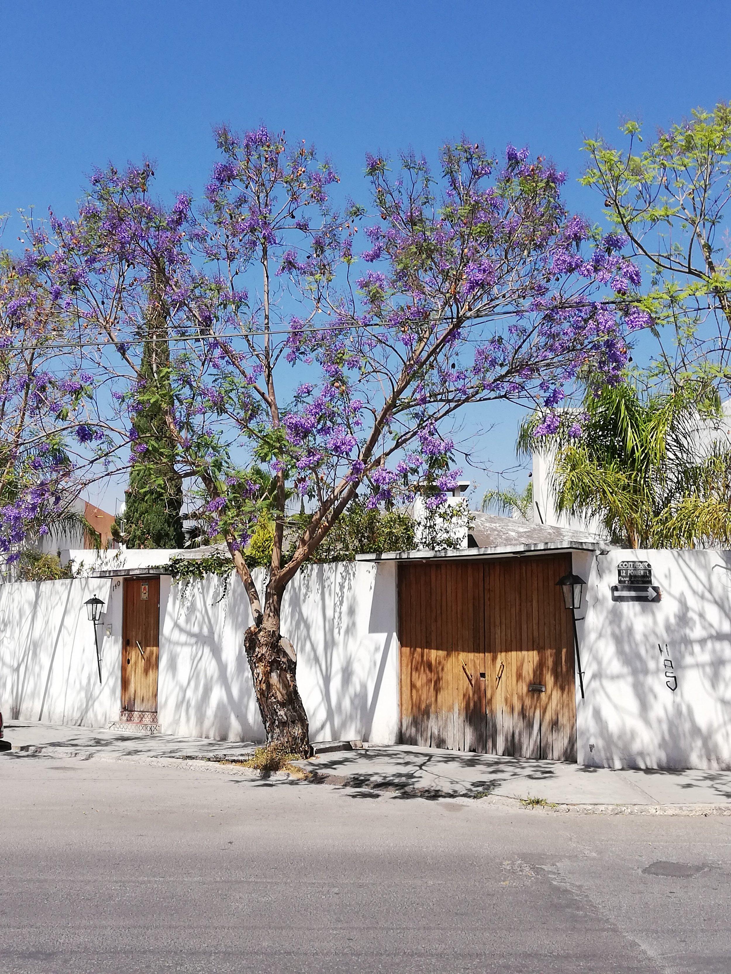 Jacaranda Trees.jpg