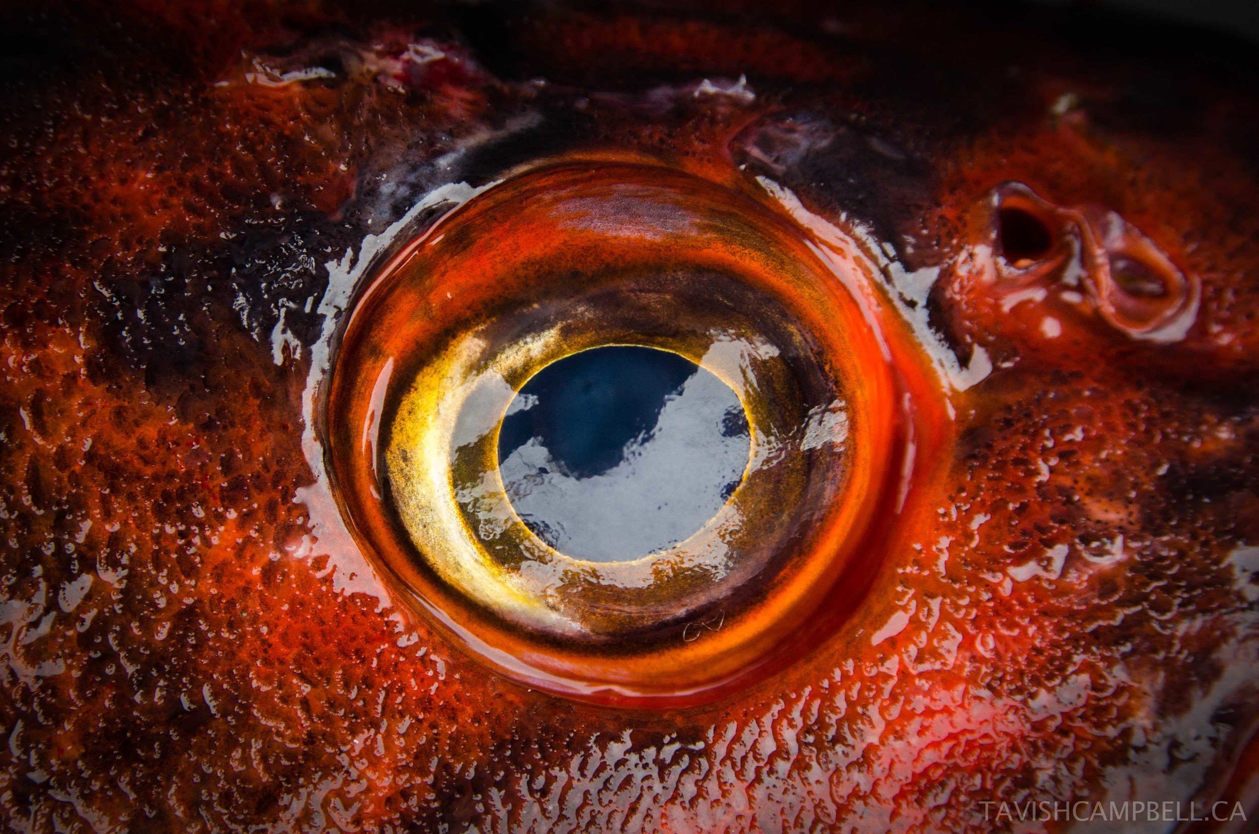 Rockfish, which are amongst the longest living fish on earth, can live for over 200 years. Slow to reproduce, these fish are perfect examples of why No-Take-Zones are crucial to ensure the protection of mature breeding stocks. Possibly the coolest fish on the coast.